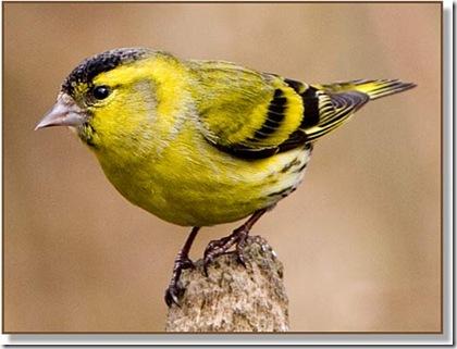 birds_siskin2