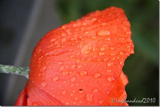 Blomster i haven 28.maj 2010 018