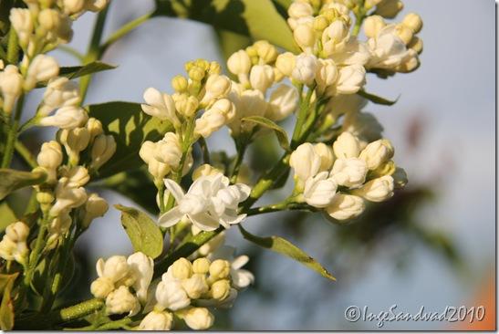 Blomster i haven 28.maj 2010 022