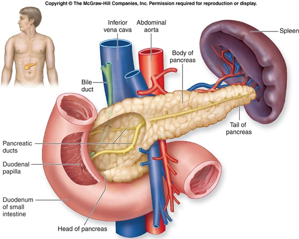 f20-13at_pancreas_c