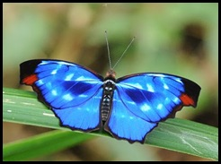 Cópia de borboleta azul 17jan2010 DSC_9161