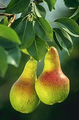 220px-Pears