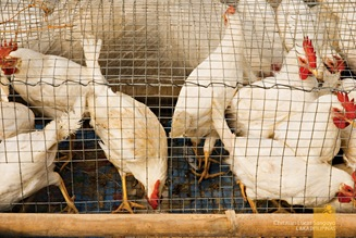 Live Chickens for Sale at Sagada's Saturday Market