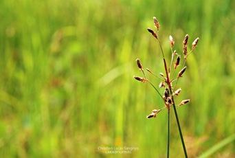 Wild Flowers at Busuanga, Palawan