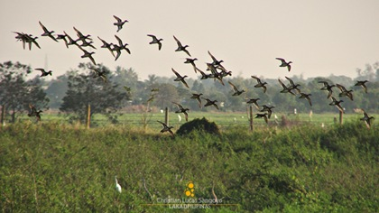 Ducks in Flight at Candaba Wetlands