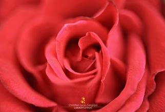 Close Up of a Red Rose at Burnham Park Orchidarium