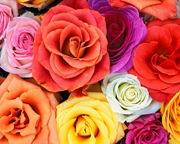 rosas (10)