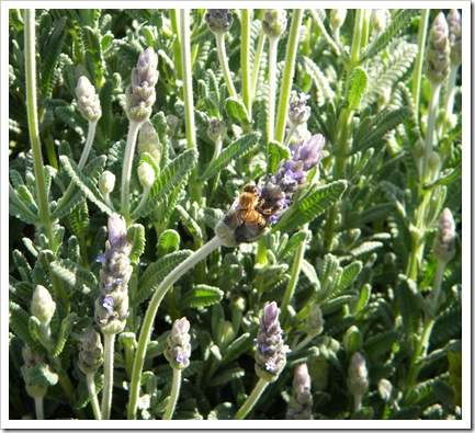 Mr. Bee Loves Lavender