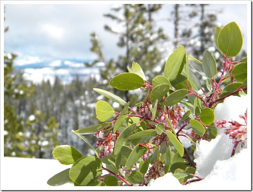 Manzanita in the Snow