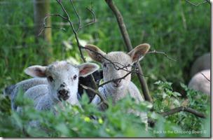 Spring Lambs peeking