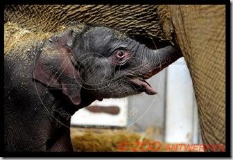 Новорожденный слоненок