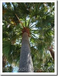 Пальма на Лазурном берегу