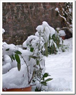 sauge sous la neige2