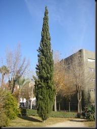 Cupressus_sempervirens_jardin_estanque
