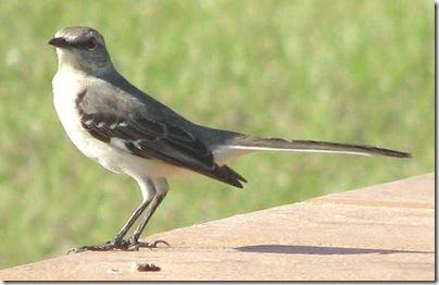 florida_state_bird
