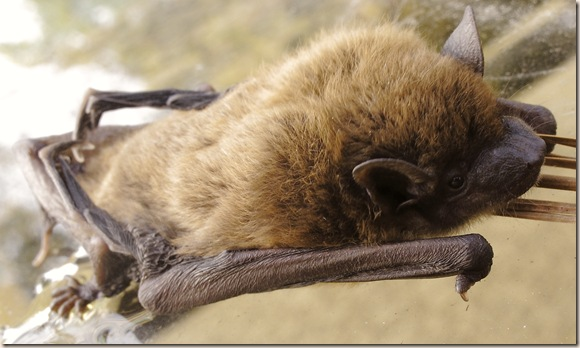 bat face closeup