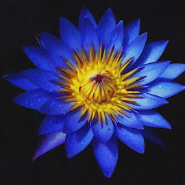 full bloomed waterlily by Asif Bora - Digital Art Things