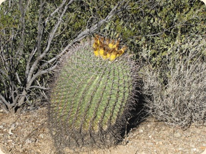Saguaro National Park 027