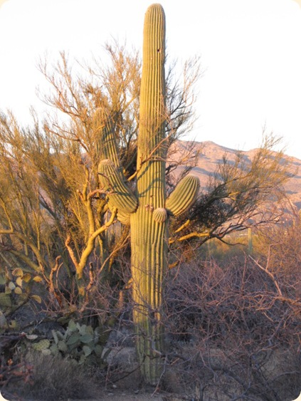 Saguaro National Park 089