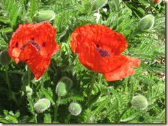 Poppies 2 close