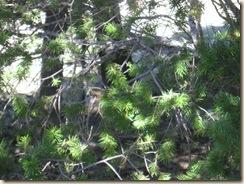 Sandia pine