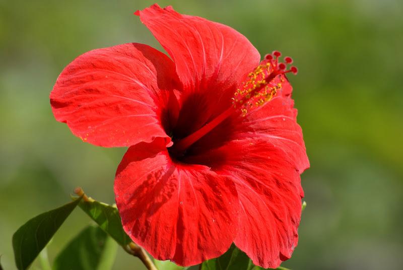 Flor Vermelha, Açores