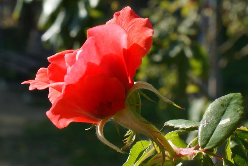 Rosa  de Vanicelos