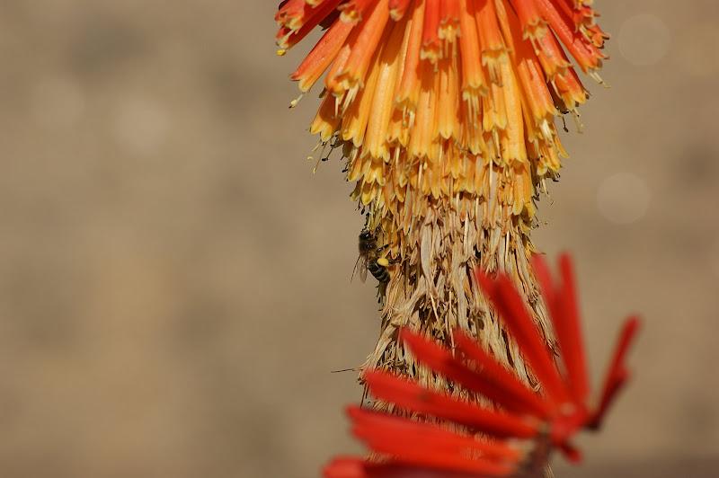 A Abelha nas flores laranjas