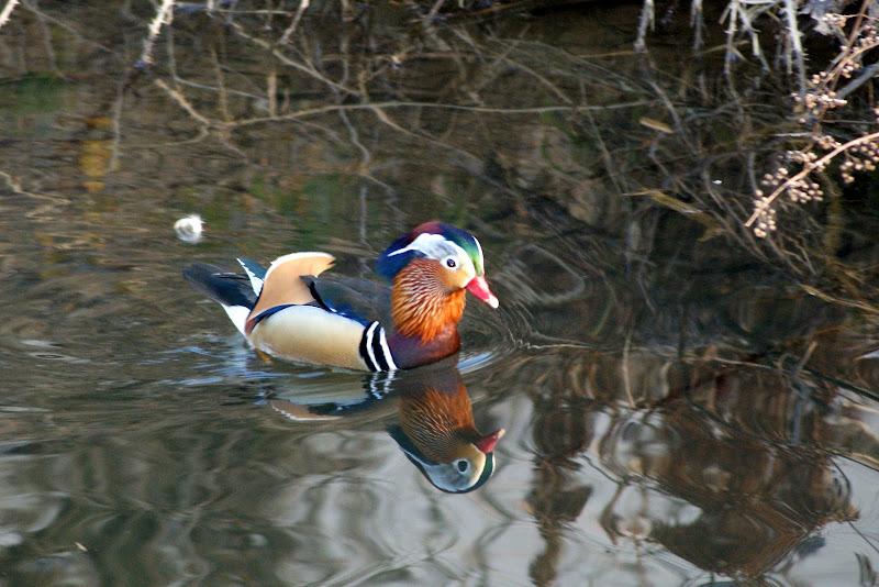 Pato mandarim, no rio Insua