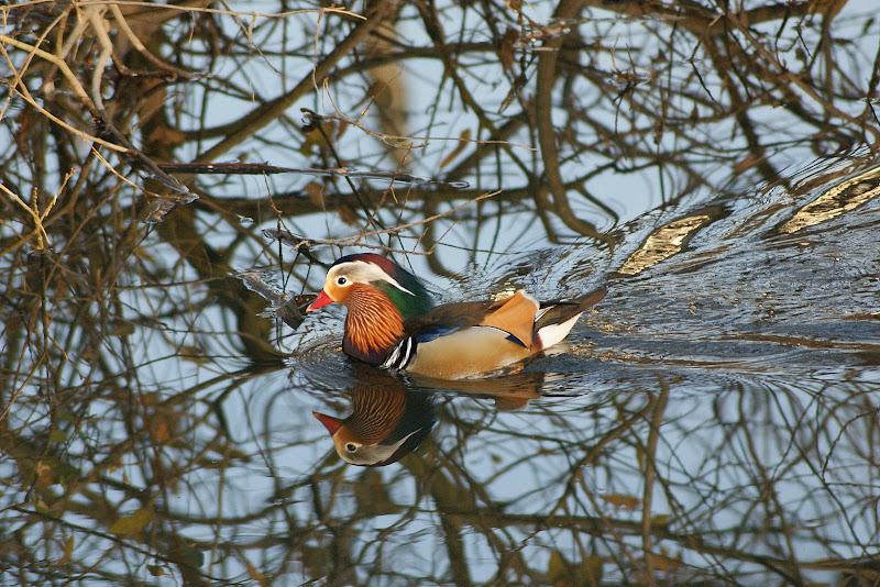 O pato mandarim, São João da Madeira