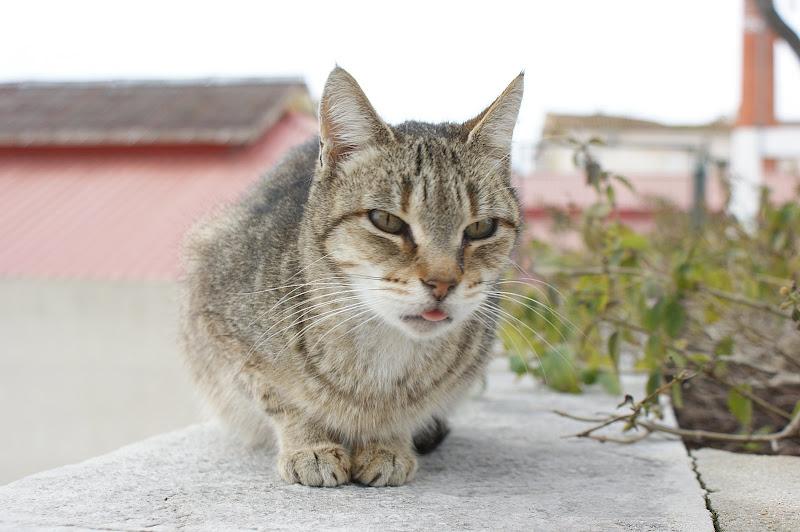 Gato com a libgua de fora