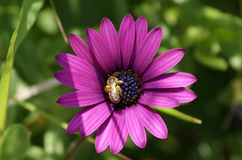 Abelha no lilás