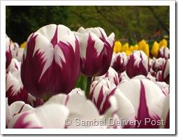 Hybrid Tulips at Keukenhof