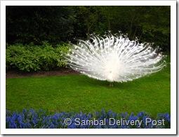 Peacock at Keukenhof