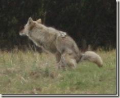 coyote9