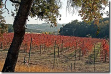 Fall-Vineyard-1