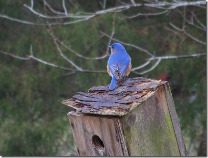 bluebird on box3a