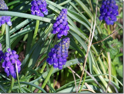 grape hyacinths