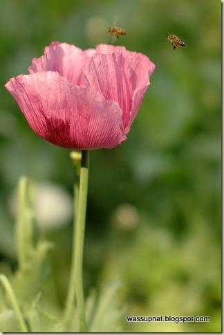 bee poppy