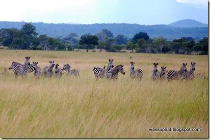 zebras on high alert