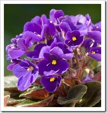 violet-mood-gal-431x500