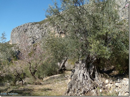 Olivo centenario - Barranc de Famorca - Alicante