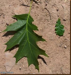 Comparación hojas de roble - ruta Legate