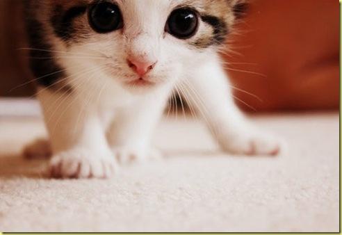 kitty_meow_cat_cute_pussy_fuzzy_kitten-f80446770d1966a83d5b0ecf6d0b3759_h_large