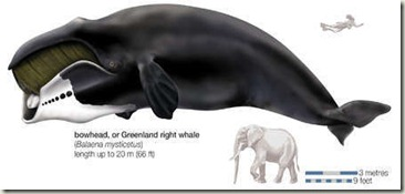 Bowhead_Whale_inline