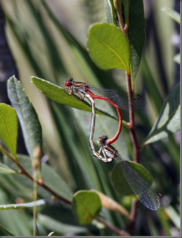 10_07_03_new_forest_144_small_red_damselfly
