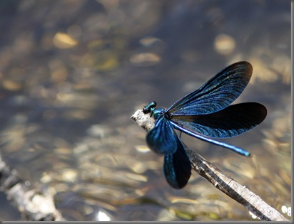 10_07_03_new_forest_049_beautiful_demoiselle