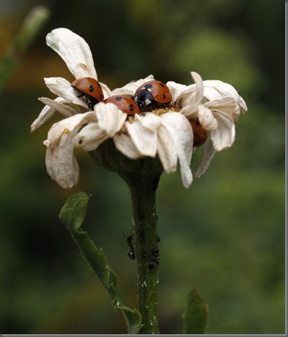 10_07_25_longfield_240_ladybird_ant_defence