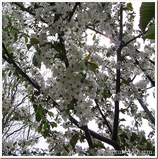 canadian red cherry tree pictures. This is the Cherry tree in my