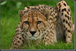 Cheetah3upld